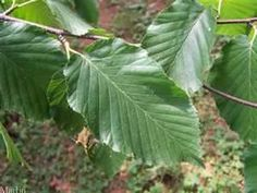 sweet birch, a large tree found in the Smoky Mountains