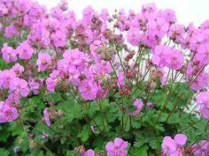 Vijver en Tuincentrum Pelckmans: Geranium cantabrigiense 'cambridge'