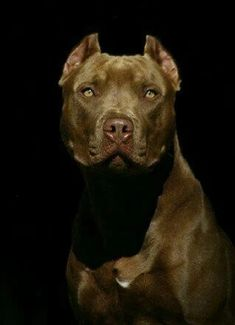 Uplifting So You Want A American Pit Bull Terrier Ideas. Fabulous So You Want A American Pit Bull Terrier Ideas. Dog Pitbull, Blue Nose Pitbull, Bully Dog, Pitbull Terrier, Bull Terriers, Boxer, Big Dogs, I Love Dogs, Cute Dogs
