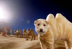 Peter Thorpe's dog Raggle dressed as a camel