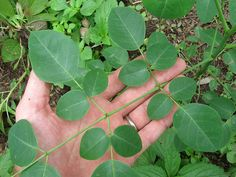 30 Amazing Benefits Of Moringa Plant For Skin, Hair And Health