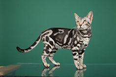 Silver Marble Bengal cat