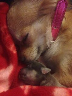 The most beautiful new mother and baby photo around. Mabel - a blue-fawn long haired chihuahua has given birth to a baby girl! Teacup Chihuahua, Chihuahua Puppies, Cute Puppies, Chiweenie Puppies, Dogs And Puppies, I Love Dogs, Puppy Love, Baby Animals, Cute Animals