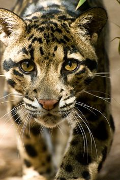 Clouded Leopard- pretty eyes