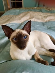 best images and photos ideas about siamese cat - most affectionate cat breeds