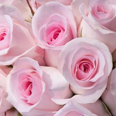 LINKED HEARTS has pale pink blooms that fade to white as the bloom opens and ages.  Long stems make this variety an ideal cut flower and excellent vase rose. Fragrant.  Hybrid Tea roses provide a colourful display from late spring to late autumn. Upright bushes producing classicly shaped blooms on long ...