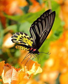 Golden Birdwing Butterfly by joeisan on Flickr