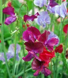 Lathyrus Odoratus Sweet Pea Louis Graines de fleurs de l/'Ukraine