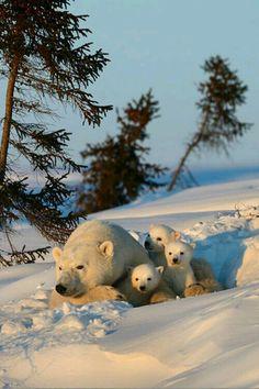 Gấu Bắc Cực .
