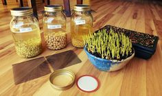 Look at that popcorn go! Flax is on its way. Plus lentil, garbanzo and fenugreek soaking in canning jars. Starting Seeds Indoors, Inside Plants, Canning Jars, Seed Starting, Lentils, Popcorn, Sprouts, Food, Indoor Plants