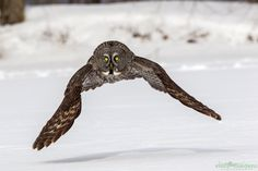 Great Grey Owl - Hey Look I'm a Tie Fighter