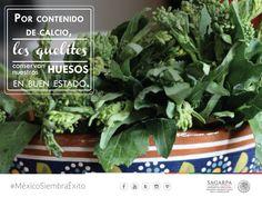 Por contenido de calcio, los quelites conservan nuestros huesos en buen estado. SAGARPA SAGARPAMX #MéxicoAgroPotencia