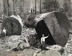 Woodcutters in North California, 1915