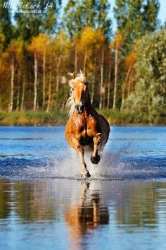 Horses - Gallop reflection - By Nikki DeKerf Fotografie