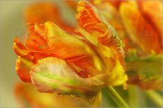 Tulpen in Orange