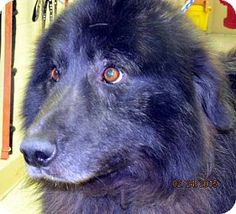 Germantown, MD - Great Pyrenees/Border Collie Mix. Meet Jose, a dog for adoption. http://www.adoptapet.com/pet/12493350-germantown-maryland-great-pyrenees-mix
