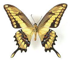 Família: Papilionídeos  Particularidades: Conhecida popularmente como Borboleta Caixão-de-defunto, está presente desde as matas até regiões abertas e ensolaradas, onde procura o néctar de diversas flores, como o cambará, o hibisco e outras espécies que exalam perfume.   Plantas Hospedeiras: Piperáceas, rutáceas nativas e também Citrus.  Habitat: Em todas as regiões.