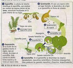 LA REPRODUCCIÓN EN PLANTAS (HELECHOS)