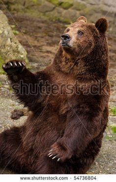 The brown bear waves a paw - stock photo