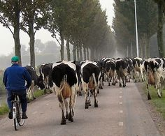 Farmer herding his cows on bike...very dutch! #Netherlands #bicycles