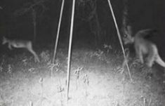 """There are several sightings of Jersey Devil and mostly of it were in the Pine Barrens in New Jersey.  The kangaroo-like creature has a head of a goat, leathery bat-like wings, horns, small arms with clawed hands, cloven hooves and a forked tail. It usually avoids human and often emit a """"blood-curdling scream."""""""