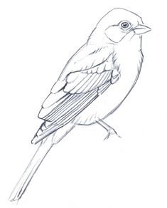 Learn to simplify bird plumage with a few lines. Drawing bird feathers takes an understanding of the underlying structure while not getting lost in detail.