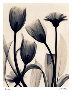 Tulip and Daisy Prints by Judith Mcmillan at AllPosters.com