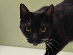 BABY PULLED BY STATEN ISLAND HOPE❤️ - SPELMAN - A1032119* TO BE DESTROYED 04/20/15 * BEGINNER RATED HOUSE PANTHER SPELMAN MEOWS AND REACHES HER PAW OUT TO GET YOUR ATTENTION! Spelman is only an 8 month old kitten!!! She came into the shelter as a stray and the entire ordeal was so confusing to her she was purring and growling at the same time!
