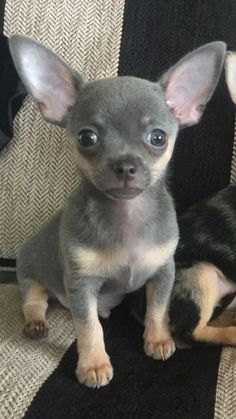 """Chihuahua Dogs My beautiful boy """"Charley Bear"""" ° Dog Pictures, Animal Pictures, Dog Photos, Baby Chihuahua, Pet Dogs, Pets, Doggies, Cute Puppies, Poodle Puppies"""