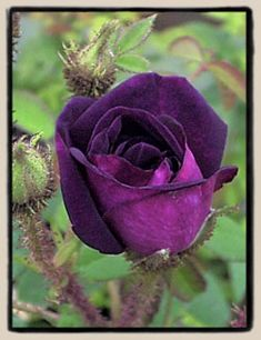 """Nightmoss"", a moss rose with a deep purple colour."