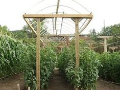 """Vertical tomatoes. If diligent with training the main stem, you can plant 8"""" apart! That would give me at the very least 24 plants in my 8'X2' bed!"""
