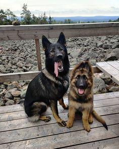 Beautiful pack!♥ Follow Balto 👉@_baltothegsd_  #germanshepherds#germanshepherdmemes#germanshepherdphotos#germanshepherddog #gsdstagram#germanshepherdpictures#gsd#gsdphotos #gsdpictures #germanshepherdpuppy #germanshepherdpuppies German Shepherd, German Shepherds, german shepherd community German Shepherd dog, german shepherd memes, german shepherd photos, gsdstagram, german shepherd pictures, gsd, gsdphotos, gsd pictures  German Shepherd Puppies, German Shepherd Memes, German Shepherd Pictures, Rescue Dogs, Animal Rescue, Nine Cat, Herding Cats, Baby Hedgehog, Puppy Training Tips