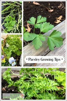 Parsley is a flavorful and fun-to-grow herb that requires minimal care, if you know the secrets to success. Discover parsley growing tips and inspiration for growing this herb in pots or garden beds. #herbs #gardening Parsley Plant, Parsley Growing, Growing Herbs, Organic Gardening, Gardening Tips, Vegetable Garden Design, Vegetable Gardening, Plant Diseases