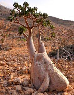 Bottle tree, Socotra Island This bizarre tree found in Socotra Island, has a wide trunk and small branches which give this tree its intriguing appearance.