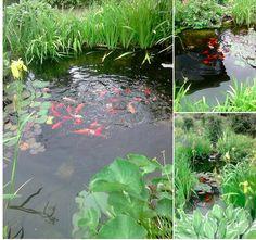 Dammen i Vilshult med fisk, utrustning o dammväxter... hur mycket kommer vi hem med tro?