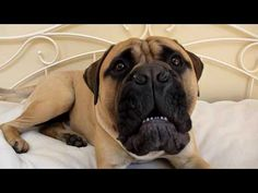 Bullmastiff vs gorilla - YouTube