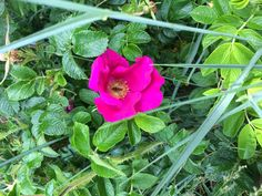 Wildrose pink Plants, Pink, Florals, Photo Illustration, Hot Pink, Plant, Pink Hair, Planting, Planets