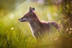 35PHOTO - Wojciech Grzanka - Red Fox