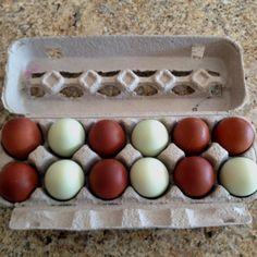 My ladies giving me beautiful eggs :>