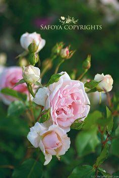 Rosa floribunda 'Ballade ®' (Kotiliesi) | Zon II. Klasblommig rabattros med stora (ca 8-10cm), fyllda till tätt fyllda, ljust rosa blommor i klasar med frisk, söt doft. Blommar från juni till hösten. Upprätt, tätt växtsätt och grågrönt till mörkgrönt, glänsande bladverk. 0.9x0.7m. Hans Jürgen Evers (Tyskland 1991).