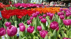 All About Singapore: TulipMania at Gardens by the Bay Flower Dome