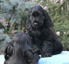 Cocker Spaniel, Puppies, Dogs, Animals, Cubs, Animales, Animaux, Pet Dogs, Doggies