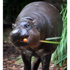 Adorable hungry liddle hippo