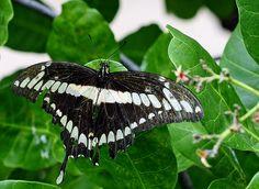Mariposa selvagem