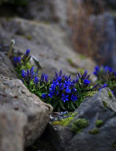 Garden design by carolyn mullet - Blue flowers and stone - Contrast in color and texture