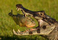 Piranha and Crocodile