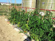 Imagen relacionada Outdoor Structures, Tomato Plants, Window Boxes, Tomatoes