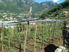 Alcuni terreni dove si coltiva il #pomodoro Re Umberto a #Tramonti in #CostieraAmalfitana