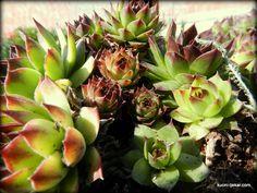 Ova mast je dobra za liječenje rana nastalih od udaraca i prignječenja, zagnojenih rana, otoka i protiv sunčanih pjega te sličnih fleka ... Succulents, Plants, Health, Succulent Plants, Plant, Planets