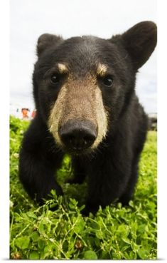 Doug Lindstrand Poster Print Wall Art Print entitled Black bear cub, South-central Alaska, Portage, Alaska, None